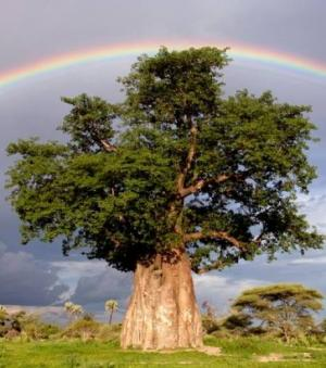 Un arc-en-ciel en arri�re-plan d'un baobab